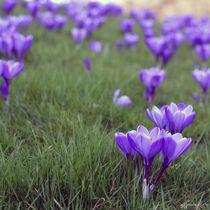 exuberance of purple von sebastiano secondi