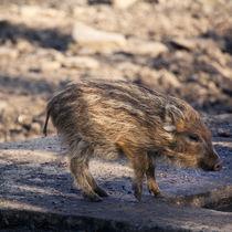Schweinchen by sylbe