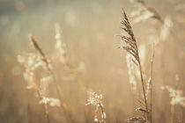 Gräser im Licht der Morgensonne by Beate Zoellner
