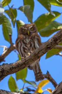 tiny pygmy owl by Craig Lapsley