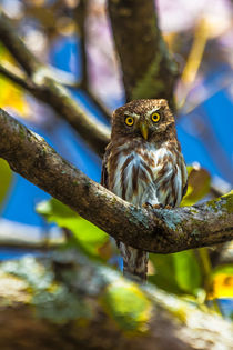costa rican pygmy owl by Craig Lapsley