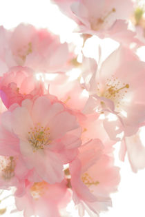 pink blossom by Beate Zoellner