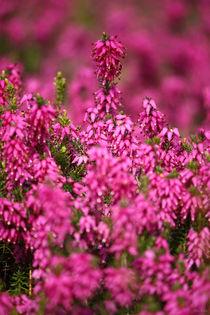 Pink-pinker-pinkest-02