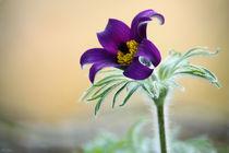 springtime! ... pasqueflower  von meleah