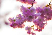 Kirschbüte im Frühling Querformat von Dennis Stracke