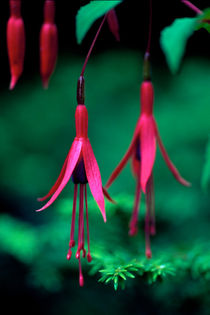 Fuschia Duo 737 by Patrick O'Leary