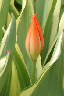Tulpenblüte von lorenzo-fp
