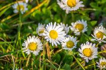 Gänseblümchen Wiese von Dennis Stracke