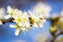 Kleine Biene auf der Kirschblüte by Dennis Stracke