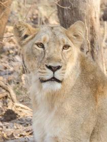 Lioness Stare by Pravine Chester
