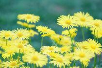 Asteraceae von Jens Berger