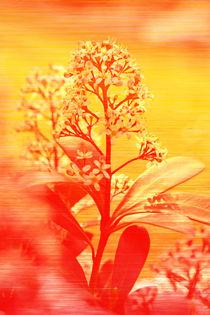 Sunriseflowersa