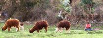 Lamas beim weiden by reisemonster
