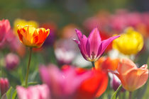 Tulpen by Walter Layher