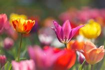 Tulpen von Walter Layher