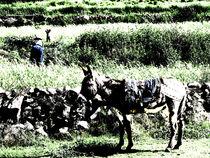 Esel, Hund , Frau im Colca von reisemonster