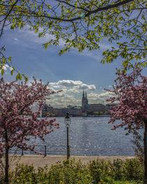 Kirschblüten an der Alster Hamburg by Dennis Stracke