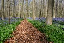 bluebells in a beech forest von Barbara Brolsma