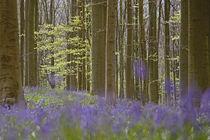 bluebells in beech forest von Barbara Brolsma