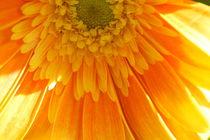 Sunshine Dahlia von Ruth Baker