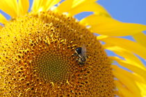 Bee in a sunflower by Ruth Baker