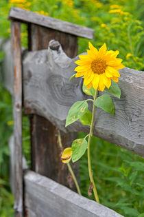 Sonnenblume-23072006-002
