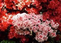 Rosa, Rot und Licht by lorenzo-fp