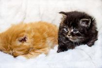 Maine Coon Katzen Babys von Dennis Stracke