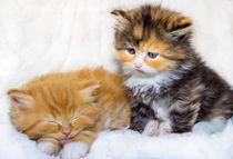Zwei kleine Sofakissen Maine Coon Katzen von Dennis Stracke