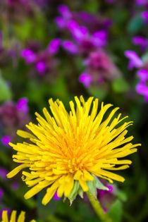Löwenzahn Blüte im Frühling von Dennis Stracke