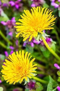 Löwenzahnblüte im Frühling von Dennis Stracke