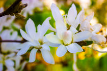 Sternmagnolie (Magnolia stellata) Blüten von Dennis Stracke