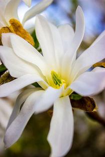 Sternmagnolie (Magnolia stellata)  Blüten Bild by Dennis Stracke