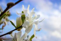 Sternmagnolie (Magnolia stellata) Blumen Bild von Dennis Stracke