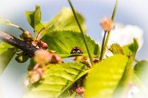Kleiner Marienkäfer auf einem Apfelbaum von Dennis Stracke