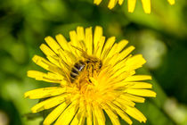 Fleissiges Bienchen auf dem Löwenzahn von Dennis Stracke