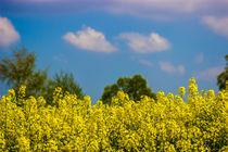 Rapsfeld in voller Blüte by Dennis Stracke