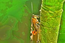 Skorpionsfliege-cut2-6000-3