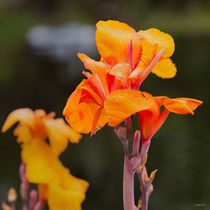 Sword Lily by John Bailey