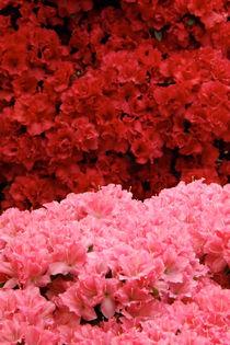 Blütensee von lorenzo-fp