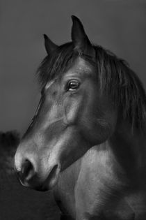 Cheval // Horse // Pferd von Olivier Mavilia