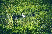 Great Egret by Dan Richards