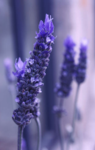 Smells-like-lavender