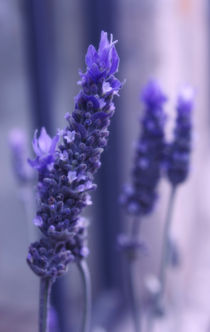 Smells like lavender by Laura Benavides Lara