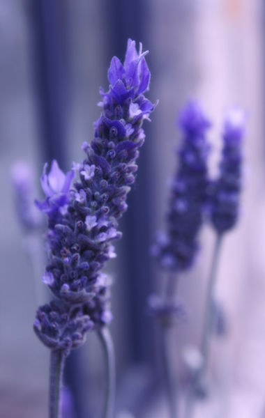 Smells-like-lavender