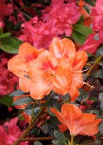 Fleurs d'azalée orange by lorenzo-fp