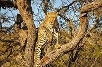 Climbing leopard von Andy-Kim Möller