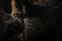 Dark boar by Andy-Kim Möller
