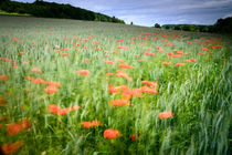 Impression of a poppy field by Andy-Kim Möller