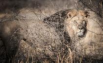 Kalahari King No 1 - ARAE von Andy-Kim Möller